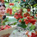 Một số bệnh hại thường gặp trên cây chôm chôm và cách phòng trị