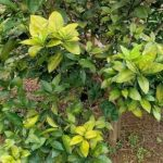 Những nguyên nhân chính khiến cây có múi bị vàng lá thối rễ
