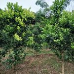 Bệnh vàng lá thối rễ trên cây có múi
