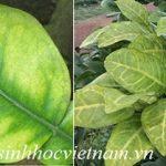 Cây bưởi bị vàng lá là bệnh gì? Nguyên nhân và cách khắc phục