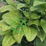 Vì sao cây bưởi bị vàng lá? Cách xác định bệnh khi lá bưởi bị vàng