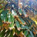 Nguyên nhân và giải pháp đặc trị cháy lá chết ngọn sầu riêng