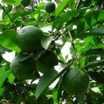 Nguyên nhân và Tác hại của các loại sâu bệnh gây hại cây chanh