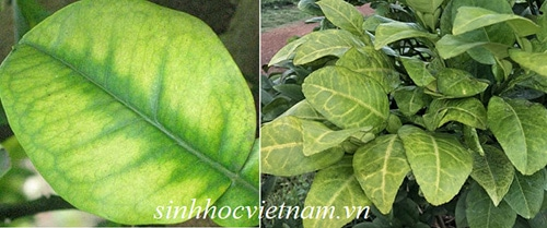 so sánh cây bị vàng lá do thối rễ và do thiếu dinh dưỡng