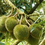 Kỹ thuật chăm sóc cây sầu riêng sau thu hoạch