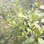 Giải pháp để chữa bệnh vàng lá thối rễ cây chanh