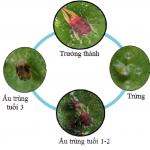 Nhện đỏ và biện pháp phòng trị nhện đỏ hại cây chanh