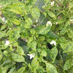 Tác hại và Biện pháp phòng trừ bệnh khảm trên cây ớt
