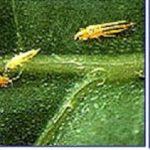 Bọ trĩ và các biện pháp phòng trừ bọ trĩ gây hại cây ớt hiệu quả