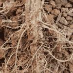 Cách phòng và trị bệnh lở cổ rễ trên cà chua