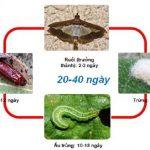 Sâu ăn lá và biện pháp phòng trừ sâu ăn lá trên dưa hấu