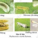 Sâu vẽ bùa và biện pháp phòng trị sâu vẽ bùa trên cây chanh