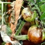 Bệnh sương mai trên cà chua và các phương pháp hạn chế