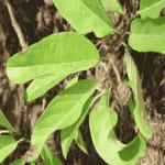 Tác hại và biện pháp phòng trừ hiệu quả bệnh thán thư trên cây na