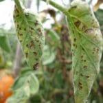 Bệnh thán thư hại cà chua và biện pháp phòng trị hiệu quả