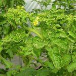 Biện pháp phòng trừ hiệu quả bệnh xoăn lá ở cà chua