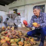 Hồi sinh đồi đá trơ trọi nhờ cỏ dại, trồng farm cacao không hoá chất