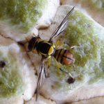 Sâu bệnh hại trên cây na thường gặp và cách phòng trừ hiệu quả